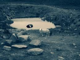 Roadtrip Scotland Schafe über Schafe